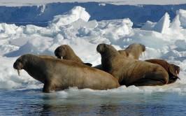 Alaska_walrus