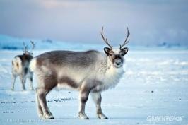 reindeer greenpeace